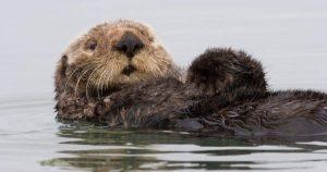 What's Killing California's Sea Otters?